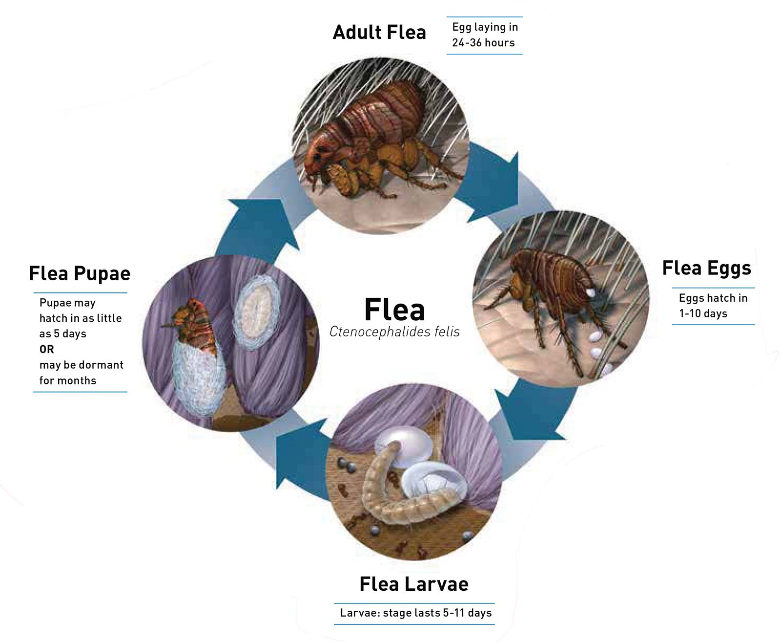 Lifecycle of a flea